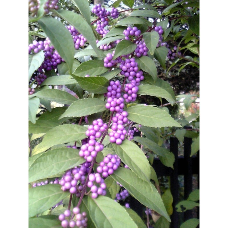 Japanese beautyberry Seeds (Callicarpa japonica) 1.85 - 1