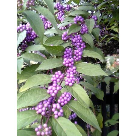 Japanischer Liebesperlenstrauch Samen (Callicarpa japonica) 1.85 - 1