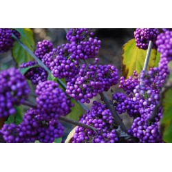 Japanese beautyberry Seeds (Callicarpa japonica) 1.85 - 2