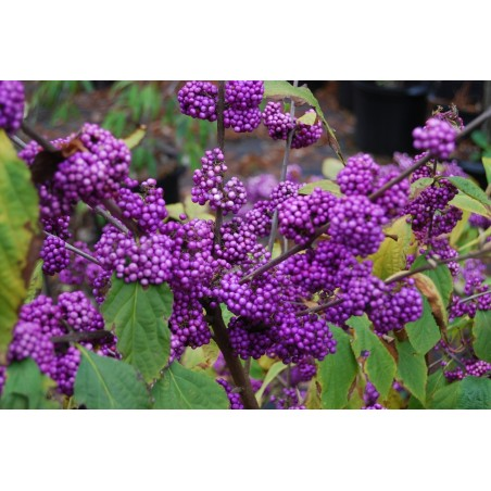 Japanese beautyberry Seeds (Callicarpa japonica) 1.85 - 3
