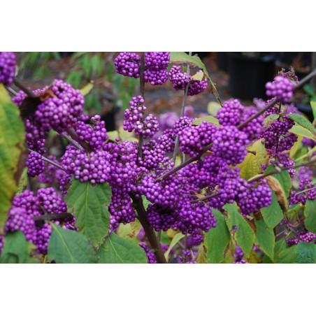 Japanischer Liebesperlenstrauch Samen (Callicarpa japonica) 1.85 - 3
