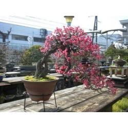 Japanischer Liebesperlenstrauch Samen (Callicarpa japonica) 1.85 - 4