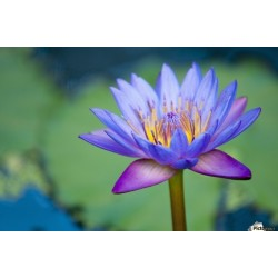 Lotus Lotosblumen Samen gemischte Farben (Nelumbo nucifera) 2.55 - 4