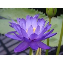 Sacred Lotus Seeds mixed colors (Nelumbo nucifera) 2.55 - 5