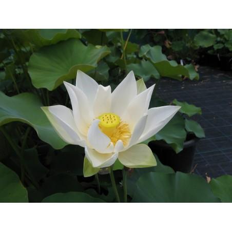 Lotus Lotosblumen Samen gemischte Farben (Nelumbo nucifera) 2.55 - 7