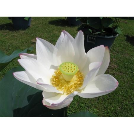 Lotus Lotosblumen Samen gemischte Farben (Nelumbo nucifera) 2.55 - 8