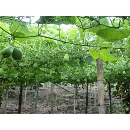 Chayote Seme - Egzoticno I Zdravo Povrce 5 - 6