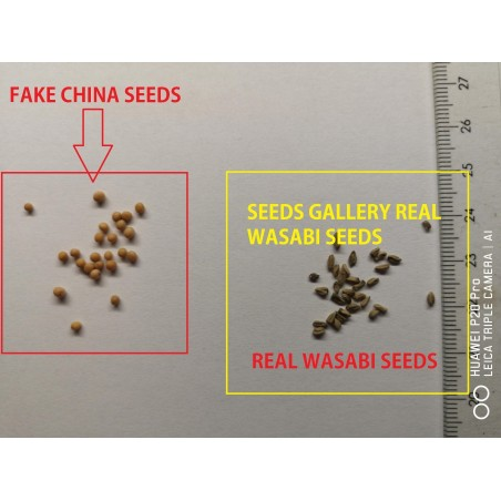 Wasabi – Japanski Ren Seme (Wasabia japonica) 5.5 - 3