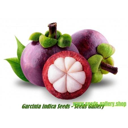 Σπόροι µαγκοστίν (Garcinia indica)