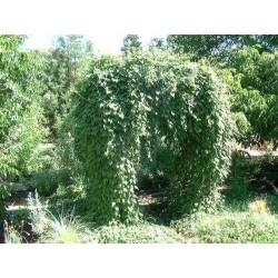 Fo-ti, He-shou-wu Seeds (Polygonum multiflorum) 4.95 - 8