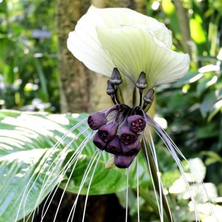 White Bat Flower Seeds (Tacca chantrieri) 2.85 - 3
