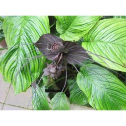 BLACK BAT FLOWER Seeds (Tacca chantrieri) 2.85 - 3