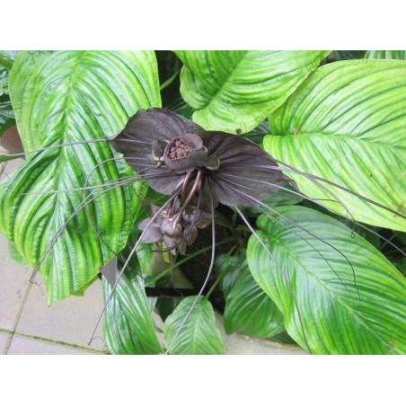 Fledermausblume Samen (Tacca chantrieri) 2.85 - 3