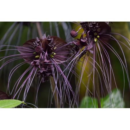 Fledermausblume Samen (Tacca chantrieri) 2.85 - 4