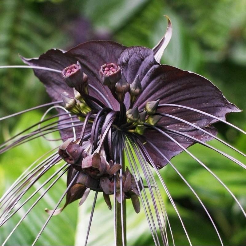 BLACK BAT FLOWER Seeds (Tacca chantrieri) 2.85 - 1