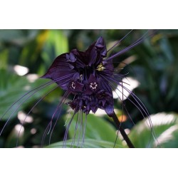 BLACK BAT FLOWER Seeds (Tacca chantrieri) 2.85 - 5