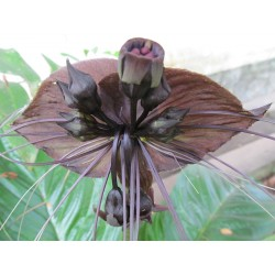 BLACK BAT FLOWER Seeds (Tacca chantrieri) 2.85 - 6
