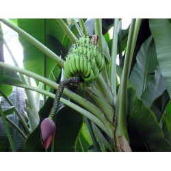 Wild Banana Seeds (Musa balbisiana) 2.25 - 4