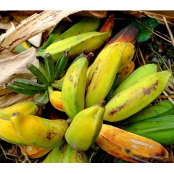 Wild Banana Seeds (Musa balbisiana) 2.25 - 6