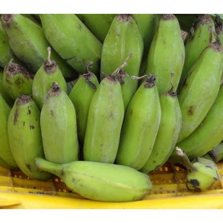 Wild Banana Seeds (Musa balbisiana) 2.25 - 9