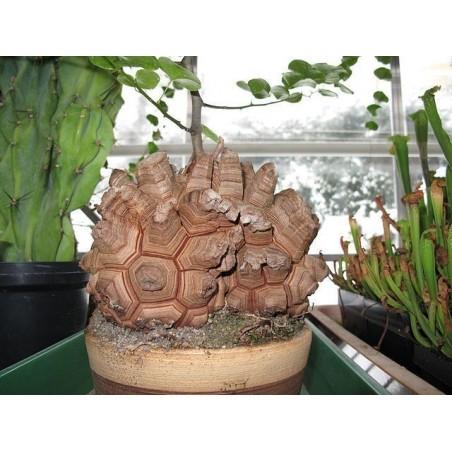 Elefantfot Fröer (Dioscorea elephantipes) 3.5 - 1