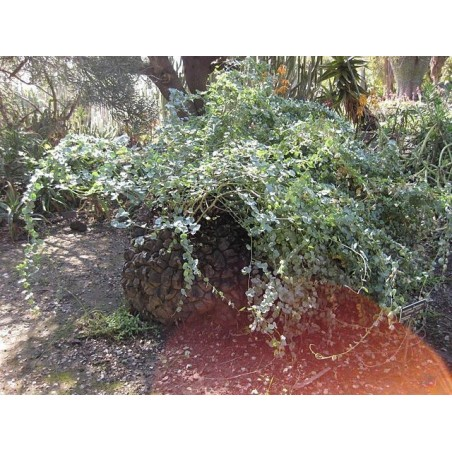 Elefantfot Fröer (Dioscorea elephantipes) 3.5 - 2