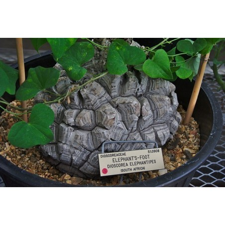 Elefantfot Fröer (Dioscorea elephantipes) 3.5 - 3