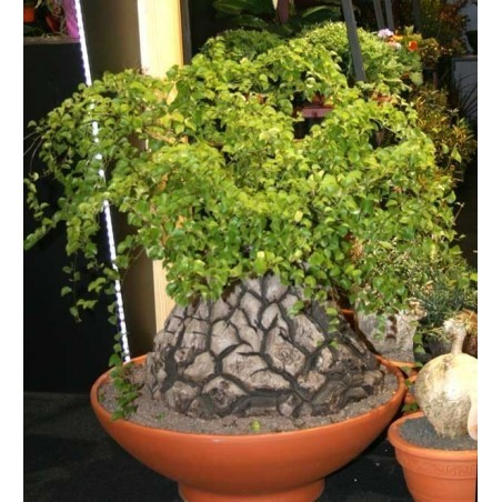 Stopalo Slona Seme (Dioscorea elephantipes) 3.5 - 5