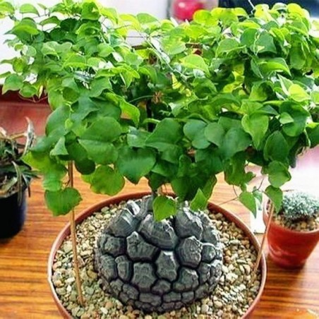 Stopalo Slona Seme (Dioscorea elephantipes) 3.5 - 9