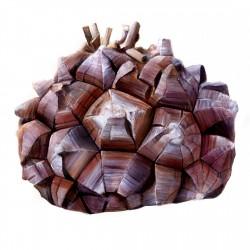 Graines de Plante tortue, Pied d'éléphant (Dioscorea elephantipes) 3.5 - 12