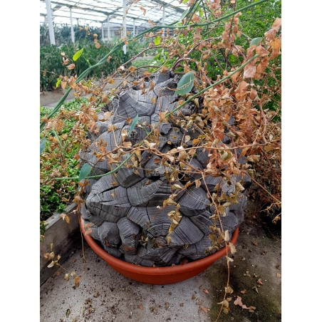 Stopalo Slona Seme (Dioscorea elephantipes) 3.5 - 10