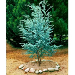 Frön Silvereukalyptus