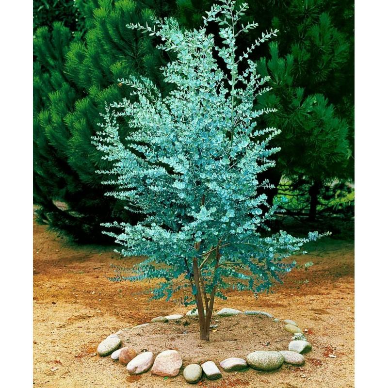 Eukalyptus gunnii Samen (Cider Gum Tree) Winterhart 2.5 - 5
