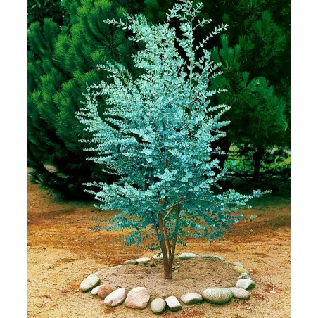 Seeds Eucalyptus Gunnii Cider Gum Tree 2.5 - 5