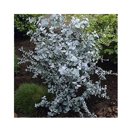 Seeds Eucalyptus Gunnii Cider Gum Tree 2.5 - 2