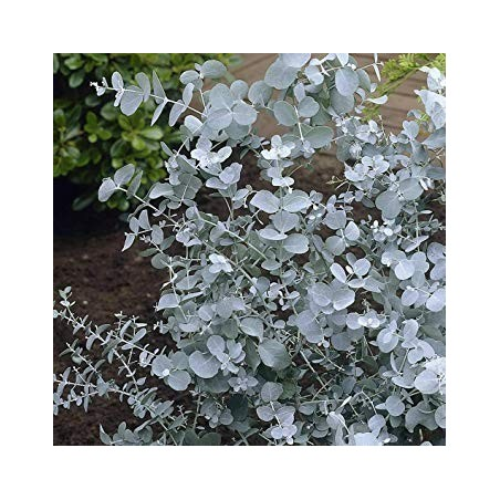 Eucalyptus Gunnii Seme (Cider Gum Tree) 2.5 - 3