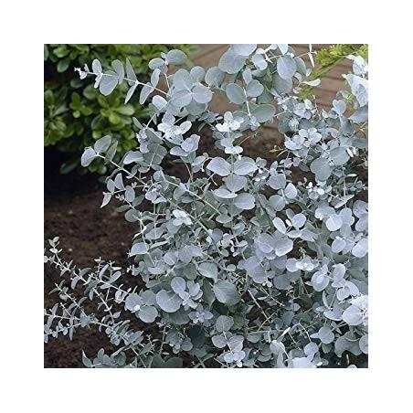 Seeds Eucalyptus Gunnii Cider Gum Tree 2.5 - 3