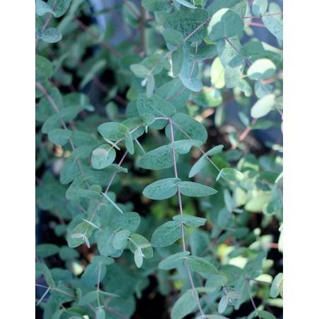 Frön Silvereukalyptus 2.5 - 4