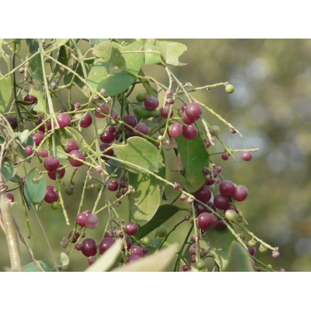 Toothbrush Tree, Mustard Tree Seeds (Salvadora persica) 2.25 - 1