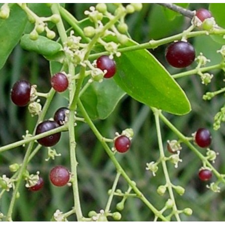 Toothbrush Tree, Mustard Tree Seeds (Salvadora persica) 2.25 - 7