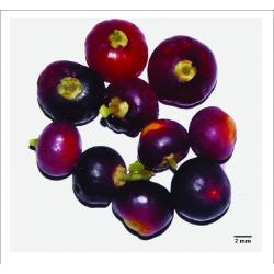 Zahnbürstenbaum Samen (Salvadora persica) 2.25 - 4