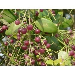 Zahnbürstenbaum Samen (Salvadora persica) 2.25 - 5