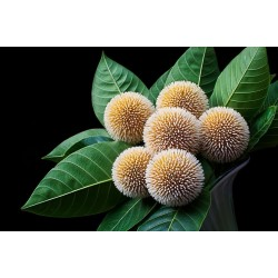 Burflower-Tree, Laran Seme (Neolamarckia cadamba) 2.35 - 3