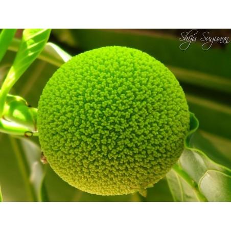 Burflower-Tree, Laran Seeds (Neolamarckia cadamba) 2.35 - 6