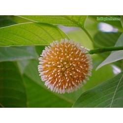 Burflower-Tree, Laran Seme (Neolamarckia cadamba) 2.35 - 7