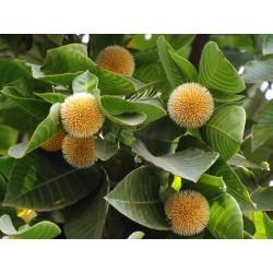 Burflower-Tree, Laran Seme (Neolamarckia cadamba) 2.35 - 8