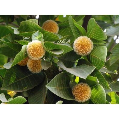Burflower-Tree, Laran Seeds (Neolamarckia cadamba) 2.35 - 8