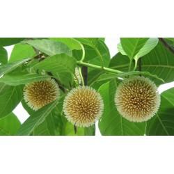 Burflower-Tree, Laran Seeds (Neolamarckia cadamba) 2.35 - 9