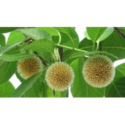 Burflower-Tree, Laran Seme (Neolamarckia cadamba) 2.35 - 9
