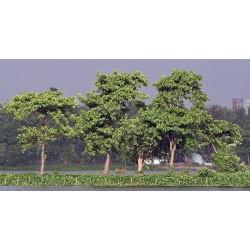 Burflower-Tree, Laran Seme (Neolamarckia cadamba) 2.35 - 10